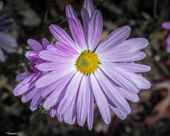 Soft Petals (that_damn_duck) Tags: nikon nature plant flower petals blossom blooming