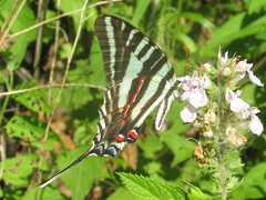 Eurytides marcellus (zebra swallowtail) (tigerbeatlefreak) Tags: eurytides marcellus zebra swallowtail insect butterfly lepidoptera papilionidae nebraska