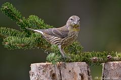 Crociere _007 (Rolando CRINITI) Tags: crociere uccelli uccello birds ornitologia avifauna montebaldo natura
