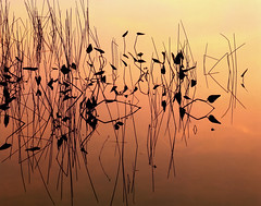 Reeds at Dusk, Bras d'Or, Nova Scotia, Canada (klauslang99) Tags: klauslang nature naturalworld northamerica canada reeds dusk bras dor nova scotia ns water