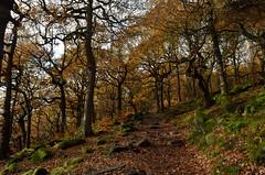 P52 Week 45   Autumn/ Fall (Steph*Powell) Tags: autumn leaves fall colour padleygorge longshawestate nationaltrust peakdistrict nikond5100