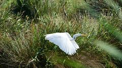 Spiccando il volo... (Enrico Piolo) Tags: uccello airone vegetazione canneto ali volare camargue becco zampe