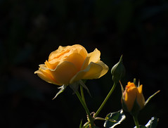 Sunny Yellow Spot. (Omygodtom) Tags: flower flickr sunlight flora yellow rose nikkor contrast colorful nature natural usgs