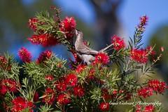 Red Wattlebird (Anna Calvert Photography) Tags: australia canberra birds canberraballoonfestival canberrabotanicalgardens landscape native nature outdoors scenery wildlife redwattlebird bottlebrushflowers