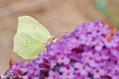 2011.07.13 - 0496 - Citron Bois Bas © (chmeyer51) Tags: insecte papillon citron lépidoptère pieridae coliadinae gonepteryxrhamni