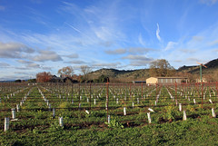 Winter Comes to Napa (JB by the Sea) Tags: rutherford napavalley napa winecountry california december2018 winery vineyard skellengerlane