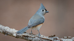 Tufted Titmouse (Baeolophus bicolor) (ER Post) Tags: bird titmouse tuftedtitmousebaeolophusbicolor jenison michigan unitedstatesofamerica us