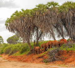 Looking after sleeping babies (igor29768) Tags: elephant herd sleeping tsavo africa kenya dry river palm trees panasonic lumix 425mm