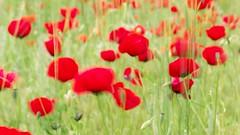 Nature series. (RKAMARI) Tags: 2016 ankara gölbaşı spring artphotography impressionist longexposure nature poppy romantic weather windy flickrsbest