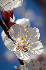 les baguettes magiques de l'abricotier (patrick Thiaudiere, thanks for + 2 millions views) Tags: flower fleur abricot bricotier blanc etamine pollen détail macro jaune mygarden monjardin akindofmagic flickrfriday home maison backyard