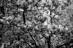 nature -aux-anges (laurent.triboulois) Tags: fleur flowers arbre nature blanckandwhite paris city downtown french