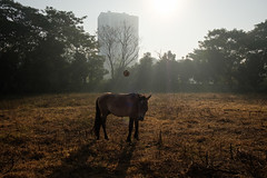 Football (SaumalyaGhosh.com) Tags: football horse field color india kolkata calcutta street streetphotography tree trees building morning light sunlight fuji xt2