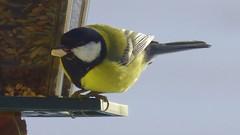 Yummi yummi ! (ursula.valtiner) Tags: vogel bird kohlmeise greattit futter körner feed grains seeds winter