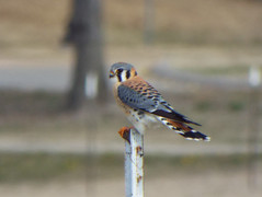 American Kestrel, January 17, 2019, Breckinridge Park, Richardson, Texas (gurdonark) Tags: bird birds wildlife breckinridge park richadson texas