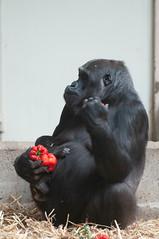 Mother and Baby Gorilla (Jim Nicholson) Tags: gorilla nikon d300 nikond300 netherlands nl holland amsterdam