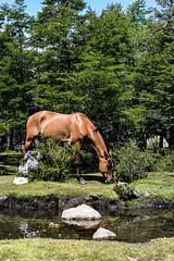 sin soga (Lucho Montefinale) Tags: caballo silvestre lago sur patagonia argentina bosque arbol árboles animal