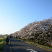 Cherry Blossoms on Right Embankment of the Tama River in Chofu