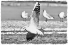 Mouette joueuse N&B (thierrybalint) Tags: mouette seagull bird water parc park borely marseille nikon nikoniste balint thierrybalint