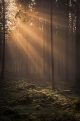 forest series #242 (Stefan A. Schmidt) Tags: forest sun sunbeam sunbeams germany golden
