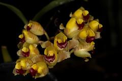Gomesa echinata 2018-10-18 01 (JVinOZ) Tags: orchid orchidspecies gomesa