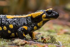 Salamandra salamandra (Michal Kukla) Tags: animal amphibia salamandra fire salamander herpetology zoology wildlife wild creature nikon macro macrophoto closeup