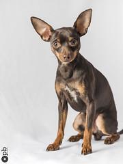 Ooligan à 9 mois (Philippe Bélaz) Tags: ooligan ratierdeprague animauxdecompagnie brun chien chocolat famille fauve lumièresartificielles portraitsanimalier studio