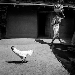 Let's go our separate ways! (Frank Busch) Tags: frankbusch frankbuschphotography imagebyfrankbusch photobyfrankbusch asia bw blackwhite blackandwhite chicken india monochrome people rooster shadow travel travelling travelphotography tribal villagelife walking washing woman wwwfrankbuschname