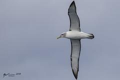 White-capped Albatross (R. Francis) Tags: thalassarchecautasteadi whitecappedalbatross tassie tas tasmania tasmanpeninsula ryanfrancis ryanfrancisphotography eaglehawkneck continentalshelf