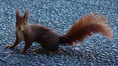 DSC03506 (2) (kriD1973) Tags: europa europe italia italy italien italie lombardia lombardei lombardie monza brianza golf club milano squirrel eichhörnchen scoiattolo écureuil
