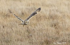 Hunting Shorty. (nondesigner59) Tags: asioflammeus shortearedowl hunting bird nature wildlife owl copyrightmmee eos7dmkii nondesigner nd59