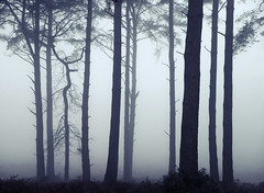 End of the world (Simon Verrall) Tags: midhurst severals theseverals westsussex thesouthdowns southdowns trees mist fog december silhouette pine dawn landscape monochrome
