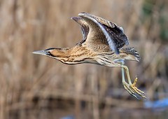 Male bittern (Rick Thornton Photography) Tags: gosforthparknaturereserve bittern