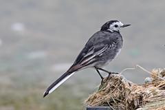 Pied Wagtail (drbut) Tags: piedwagtail motacillaalba water shoreline bird birds animal avian wildlife nature canonef500f4lisusm