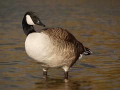 Canada goose (PhotoLoonie) Tags: goose canadagoose waterbird bird wildlife nature