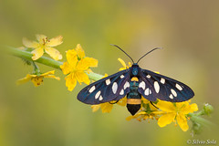 Amata phegea (Silvio Sola) Tags: silviosola insetti insetto insects lepidottero farfalla closeup macro campo fiori fauna prete priest