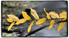 gelbe Blätter (1elf12) Tags: blätter foliage braunschweig germany deutschland friedhof cemetary herbst autumn