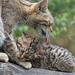 Kitten biting mother's paw