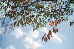 leaves, clouds and the sky (N.sino) Tags: m9 summilux50mm autumnleaves cloud sky bluesky 枯葉 虫食い 穴だらけ 空 雲 秋 冬 移ろい 昭和記念公園