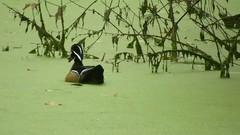 Wood Duck_3746.mp4 (Henryr10) Tags: eastforklake eastforkstatepark bethelohio littlemiamiriverbasin usa stevenewmantrailhead woodduck aixsponsa aix duck avian bird vogel ibon oiseau pasare fågel uccello tékklistar waterfowl wodu