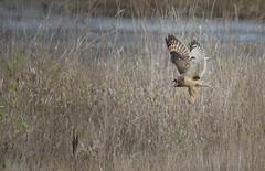OwLegs (TW Olympia) Tags: short eared owl nisqually national wildlife refuge