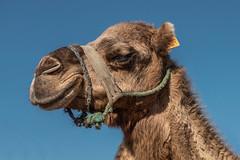 Wir sind halt in Afrika (Doblinus) Tags: 2018 marokko msartania tanger afrika sonyrx100 sony kreuzfahrt kamel dromedar mittelmeer