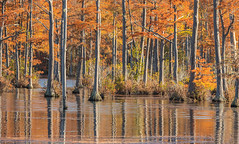 Goodale 2018-11 33 Panorama (Jim Dollar) Tags: jimdollar goodalestatepark camden southcarolina sc cypresstrees cypresspond adamsmillpond fall reflections panorama canon5div