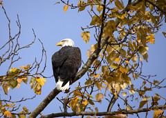 Bald Eagle_0192 (Mike Head -Jetwashphotos) Tags: baldeagle eagle regal hunting watching crescentbeach southsurrey bc britishcolumbia canada westerncanada westernregion