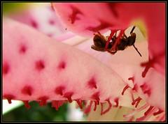 IMG_0607 Michelangelo at Work 7-28-12 (arkansas traveler) Tags: bee masonbee bichos bugs insects flowers stargazerlily macro macrolicious bokeh bokehlicious nature naturewatcher natureartphotography