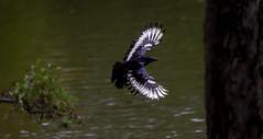 a strange crow in flight (1/2) : a phoenix in the sky (Franck Zumella) Tags: carrion crow corneille branch branche tree arbre black bird noir oiseau 새 fly voler flight vol white blanc strange etrange phoenix