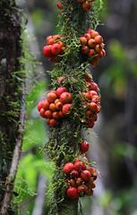 Flora (Wild Chroma) Tags: flora madagascar unidentified ranomafana