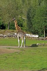 Rothschild Giraffe (Michael Döring - thx for 20.000.000 views) Tags: gelsenkirchen bismarck zoomerlebniswelt zoo rothschildgiraffe afs70200mm28g d800 michaeldöring