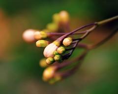 Tomorrow (barbara_donders) Tags: natuur nature herfst fall autumn colorful kleurrijk artistiek artistic art kunst bloemen flowers buds knoppen bokeh macro magisch magical beautiful mooi prachtig
