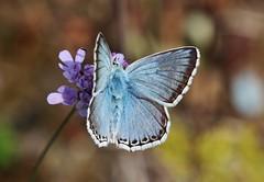 Bläuling (Hugo von Schreck) Tags: hugovonschreck butterfly schmetterling bläuling macro makro insect insekt fantasticnature yourbestoftoday canoneos5dsr tamron28300mmf3563divcpzda010