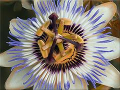 Macro shot of the blossom of a passionflower (Ostseetroll) Tags: makroaufnahme blüte passionsblume macroshot blossom passionflower focusbracketing olympusem5markii